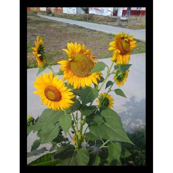 Download 6300 Gambar Bunga Matahari Keren Paling Cantik HD