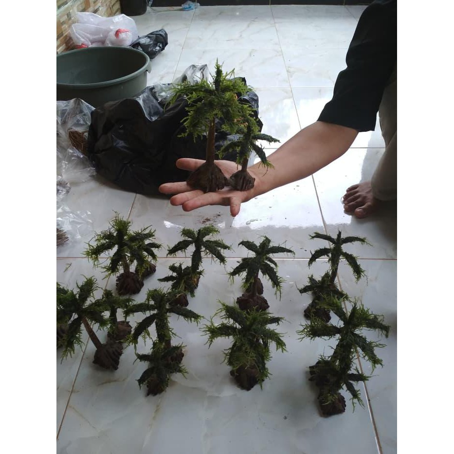 Bonsai Bonsai Kelapa Pantai Aquascape Shopee Indonesia