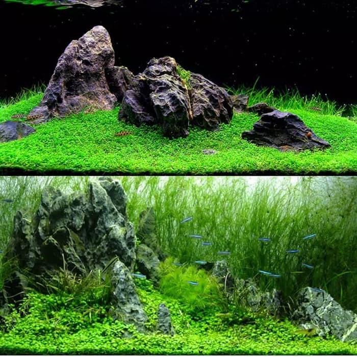 Bibit Benih Small Leaf Grass Carpet Seed Aquascape Aquarium Plant Seed Shopee Indonesia