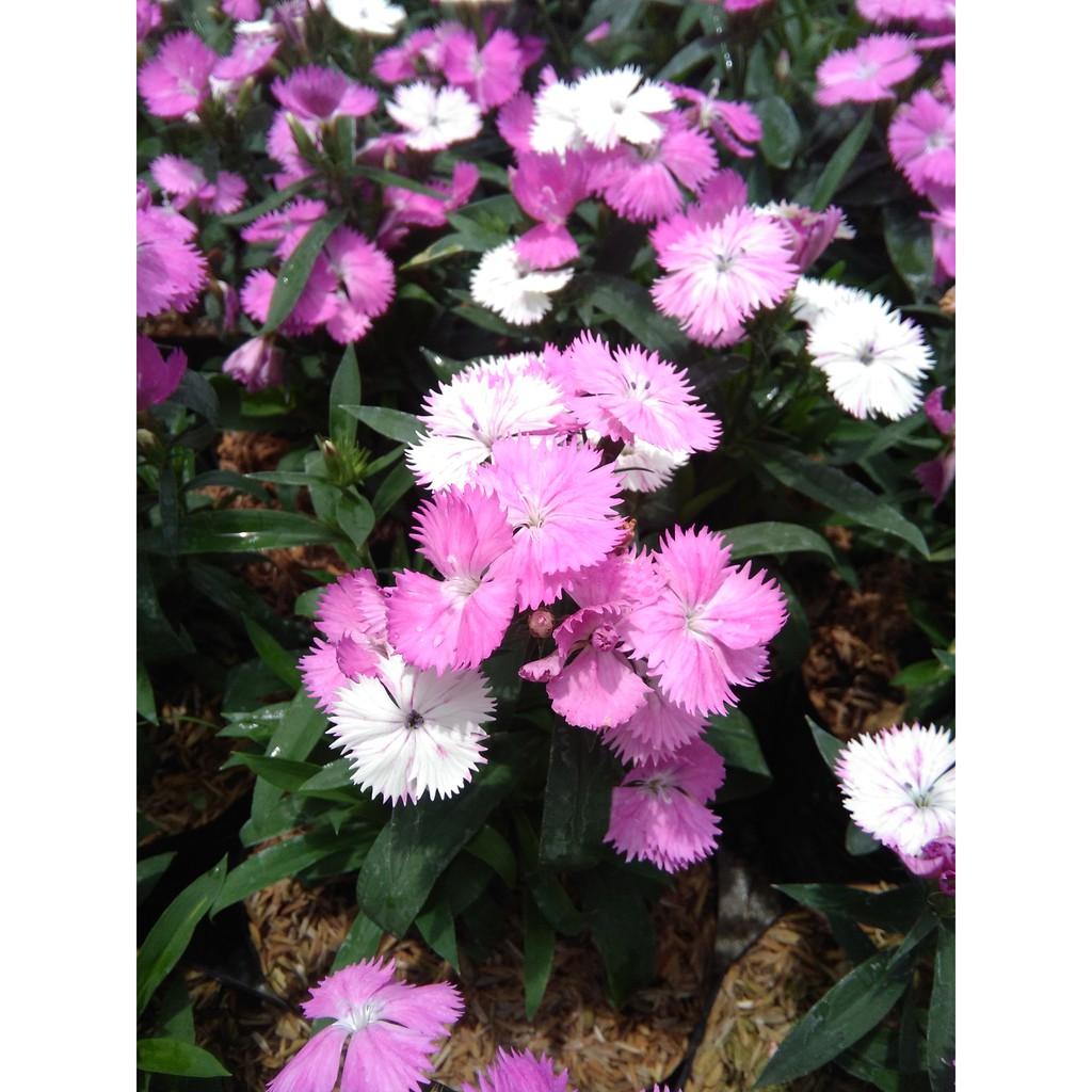 Bibit Tanaman Hias Calathea Bicolor Shopee Indonesia Bunga Hibiscus Striped