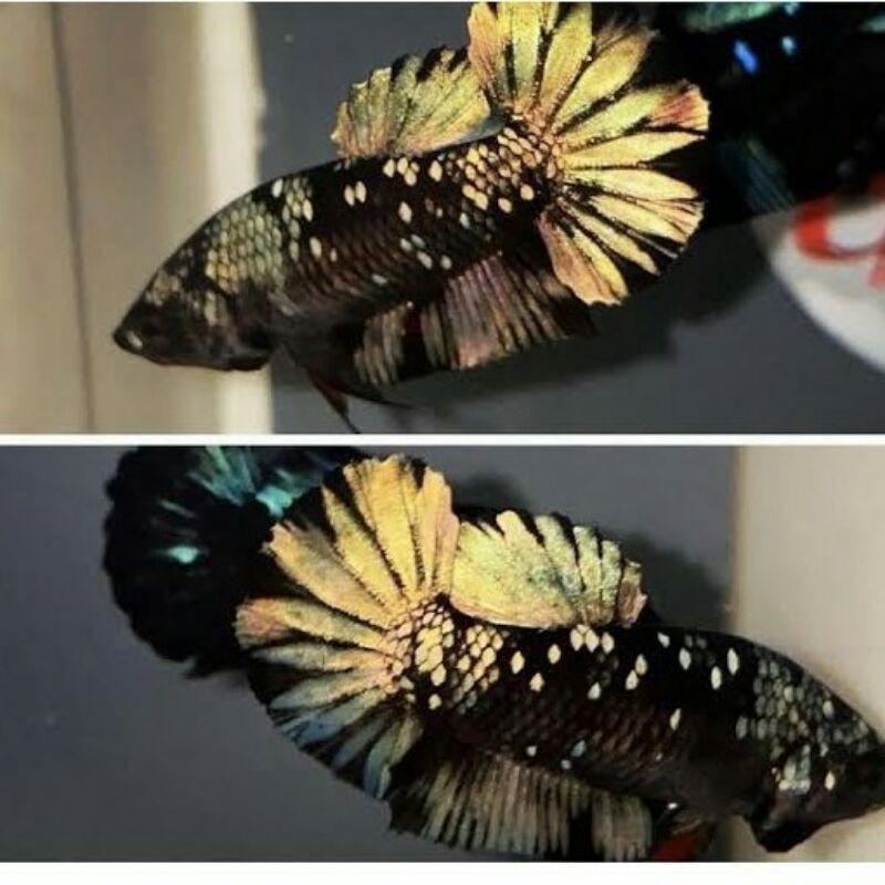 ikan cupang Avatar Cooper gold