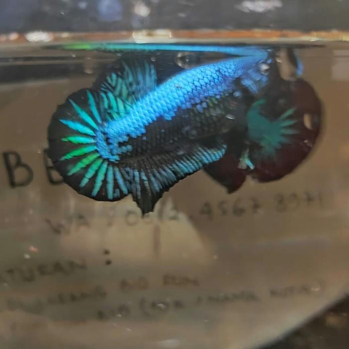 ikan cupang avatar