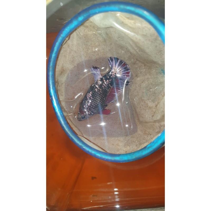 Induk indukan female betina ikan cupang Cooper gold avatar coper gold copper gold bluerim blue rim
