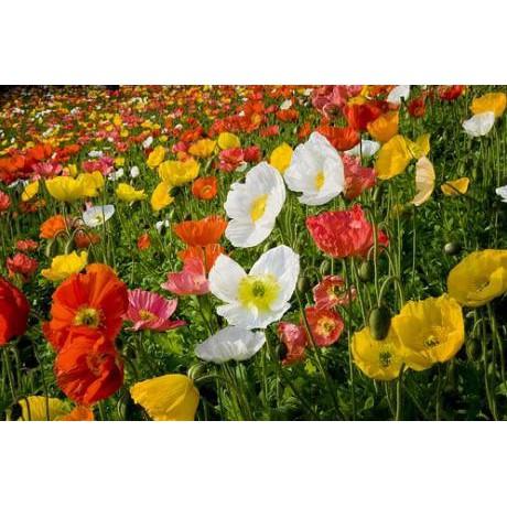 50 Benih Bunga Marigold Crown Daisy Chrysanthemum Glebionis Coronarium | Shopee Indonesia