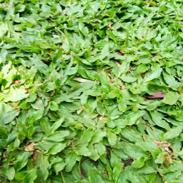 Tanaman Hias Rumput Gajah Mini Rumput Hias Shopee Indonesia