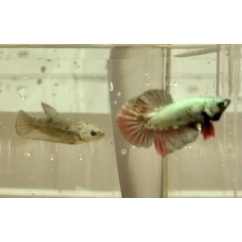 Ikan Cupang Avatar Copper/ Cooper Top Grade