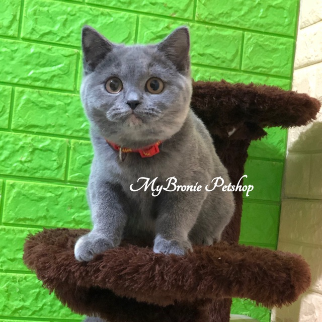 Kucing Scottish Straight Shorthair Mirip Bsh Shopee Indonesia