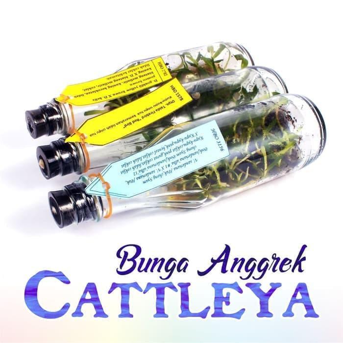 Bibit Anggrek Botol Bulan/Phalaenopsis, Dendrobium, Cattleya, Vanda: | Shopee Indonesia