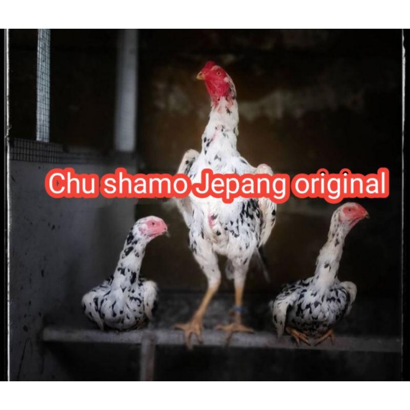 telur ayam Bangkok Chu shamo original
