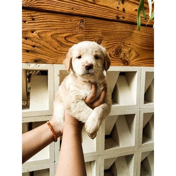 anjing golden mix samoyed puppy
