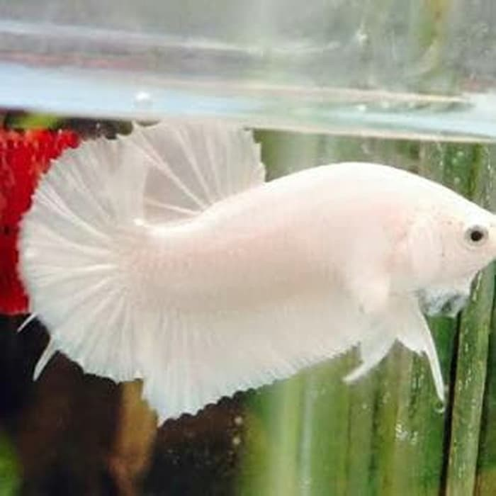 Promo Ikan Cupang White Solid Platinum Super White Double Tail Shopee Indonesia