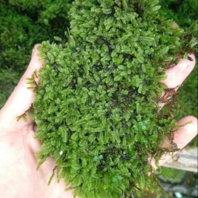 Moss Darat Untuk Paludarium Per Keranjang Shopee Indonesia