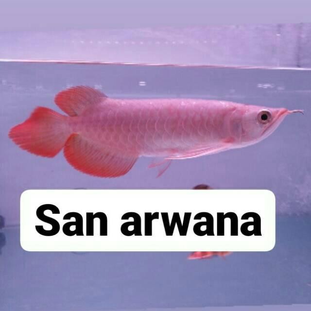 Arwana super red chili ikan arwana super red
