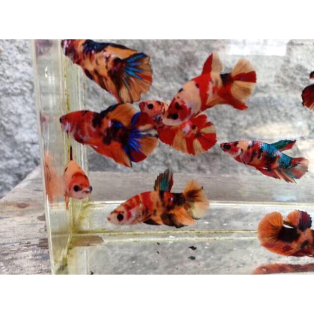 Jenis Ikan Cupang Plakat Nemo