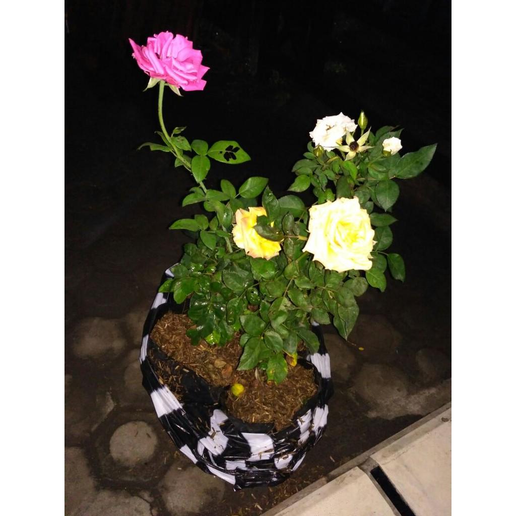 Bunga Mawar Warna Warni Shopee Indonesia
