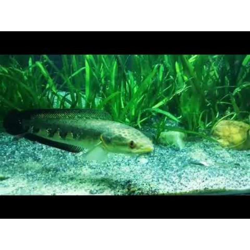 Ikan Hias Channa Green Marulius Barito 16-17cm