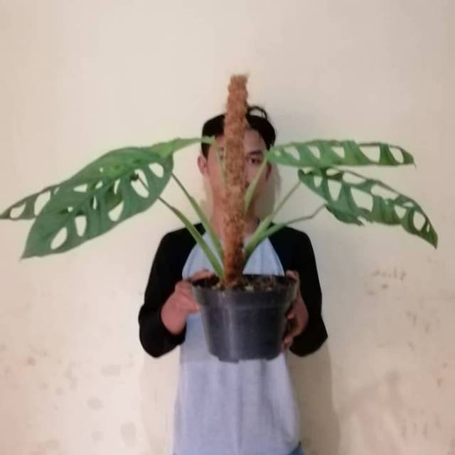 Tanaman Hias Monstera Adansoni Monstera Adan Soni Janda Bolong Shopee Indonesia