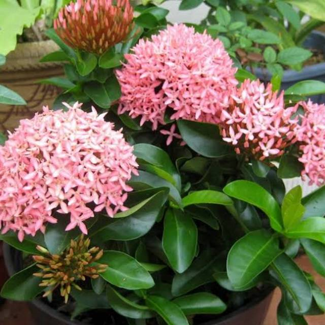 Tanaman Hias Bunga Asoka Bibit Bunga Soka India Pink Merah Shopee Indonesia