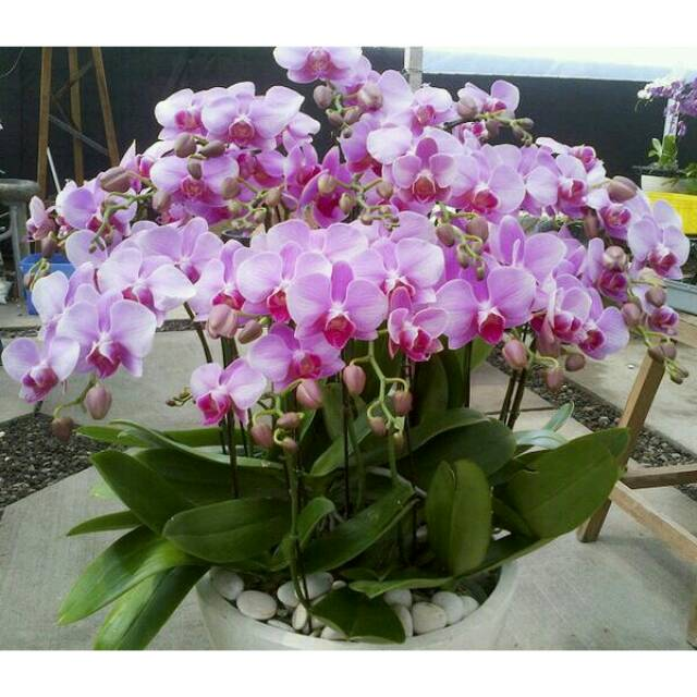 Tanaman Hias Bunga Anggrek Bulan Ungu Shopee Indonesia