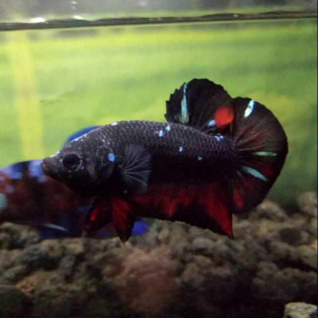 Ikan Cupang Avatar Grade Shopee Indonesia