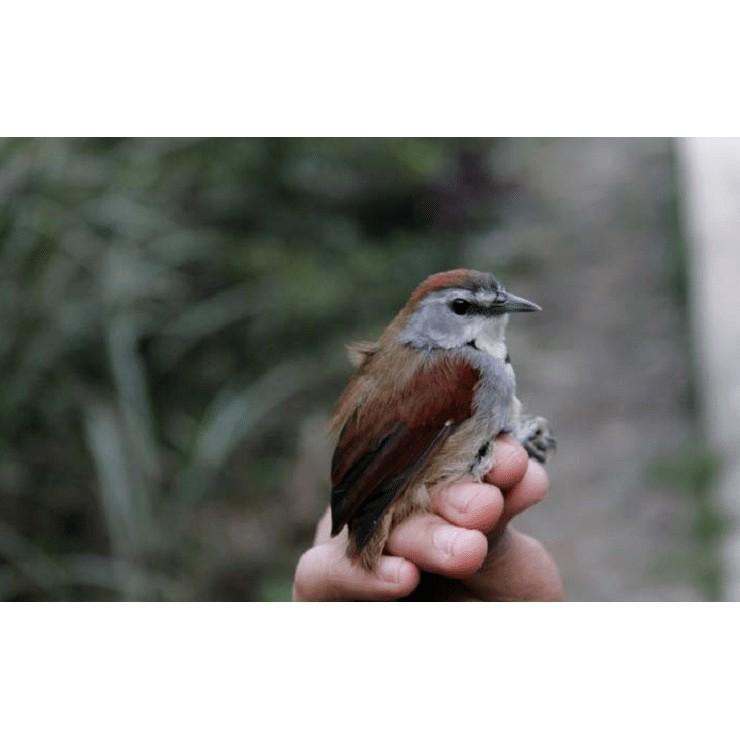 Burung T E P U S Pipi Perak Shopee Indonesia