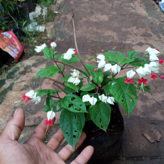 Pohon Bunga Nona Makan Sirih Shopee Indonesia