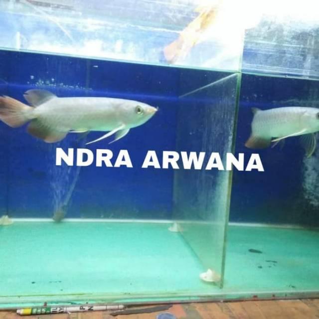 Arwana super red chili / arwana super red blood  grade A+++