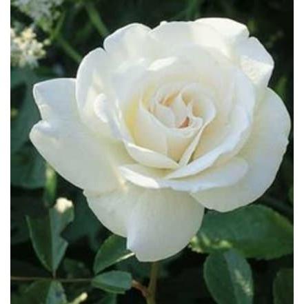 Tanaman Hidup Bunga Mawar Putih Shopee Indonesia