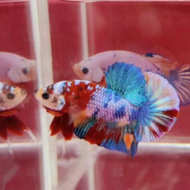Ikan Cupang Hias Nemo Galaxy Multi Rainbow Top Grade Shopee Indonesia