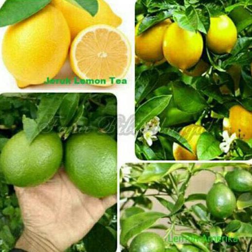 Kwa1 Bibit Tanaman Buah Jeruk Lemon 2 Jenis Lemon Tea Lemon Amerika Kwa1 Voc Shopee Indonesia