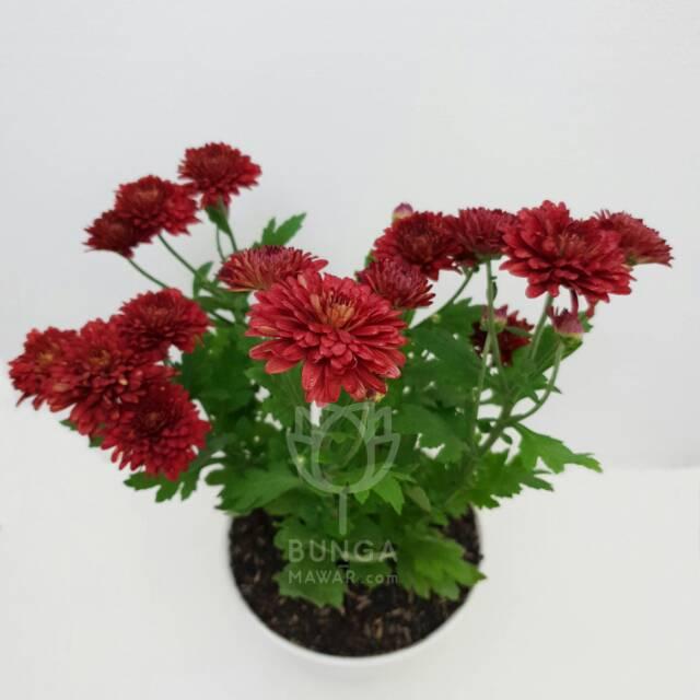 Tanaman Hias Bunga Aster Merah Shopee Indonesia