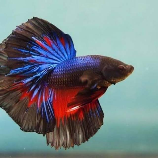 4200 Koleksi Gambar Ikan Cupang Adalah Gratis Terbaik