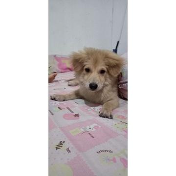 Anak Anjing Mix Golden Pom