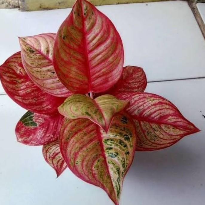 tanaman hias aglonema hughes-aglonema hughes