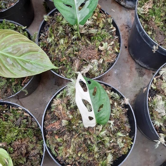 Philodendron Monstera Obliqua Janda Bolong Varigata Thailand Shopee Indonesia