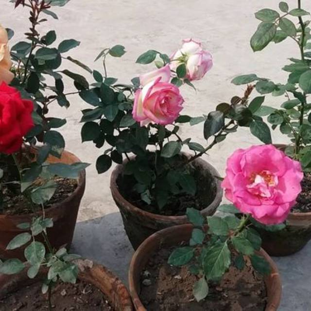 Tanaman Hias Bunga Mawar Bandung Shopee Indonesia