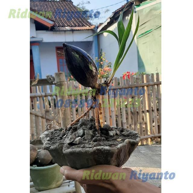 Bonsai Kelapa Mini Hijau Minion Bonkla Coco Bonsai Cobon Sudah Jadi Unik Lucu Bagus Shopee Indonesia
