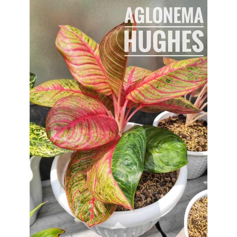 aglonema hughes