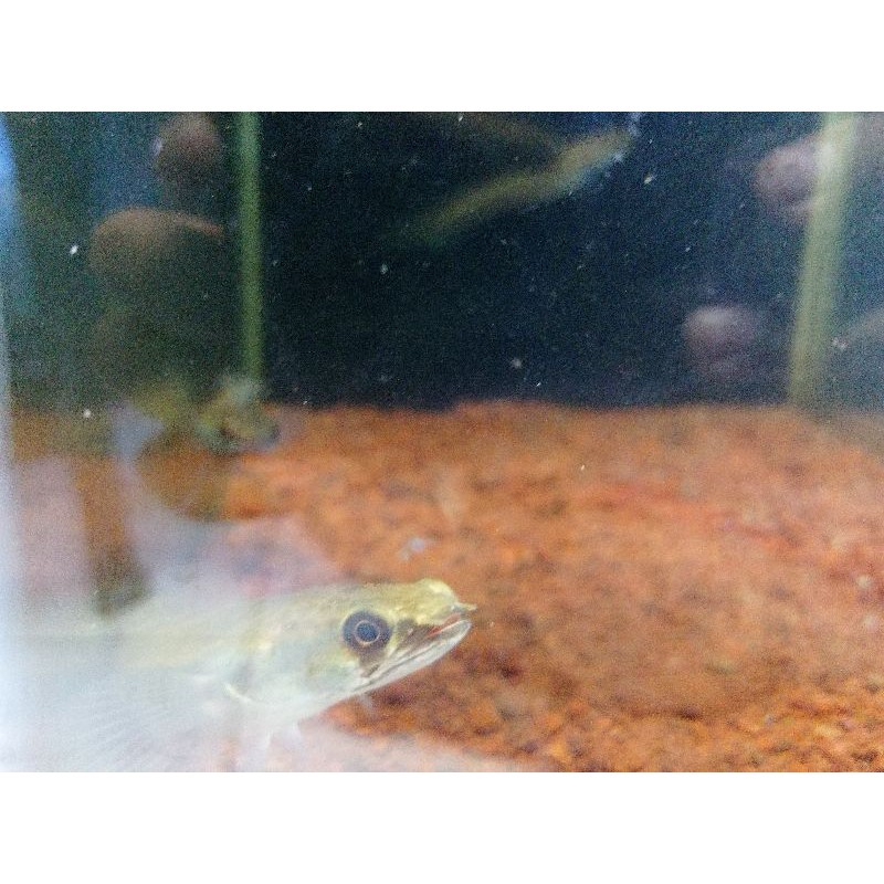 Channa Chana Green Marulius Maru 10-13 Cm / Ikan Gabus Hias