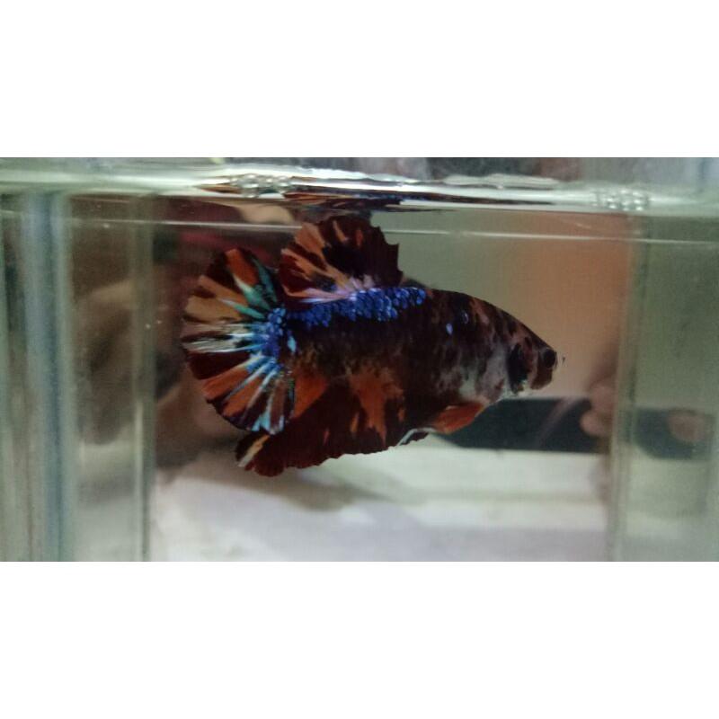 Ikan Cupang Nemo Tiger Multicolor Shopee Indonesia