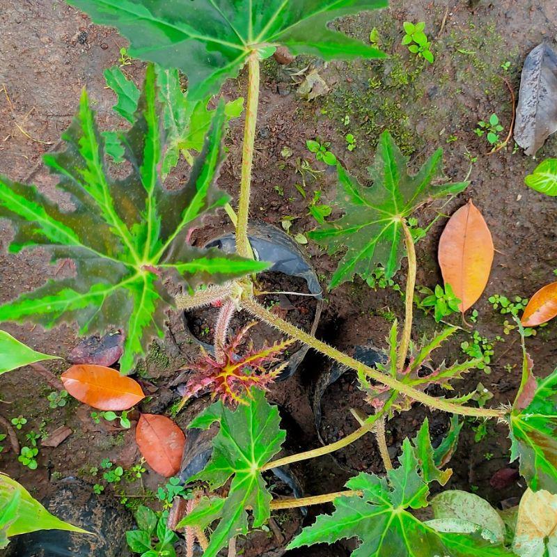 bibit begonia / tanaman begonia / tanaman hias / begonia