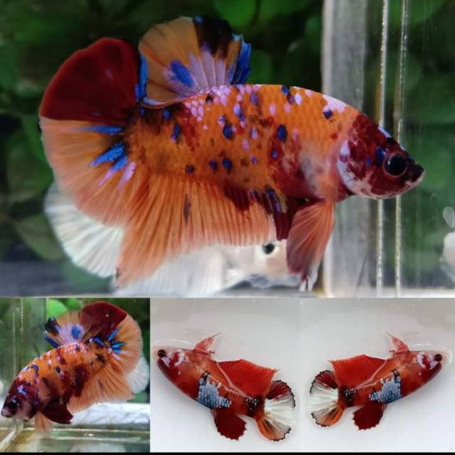 Cupang Betta Paket Pair Nemo Multicolor Size S Shopee Indonesia