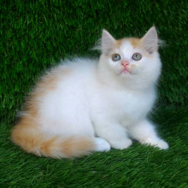 Unduh 96+  Gambar Kucing Persia Lucu Paling Bagus Gratis