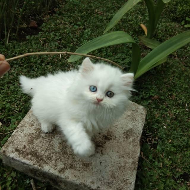 Kucing Persia Super Lucu Sold Shopee Indonesia