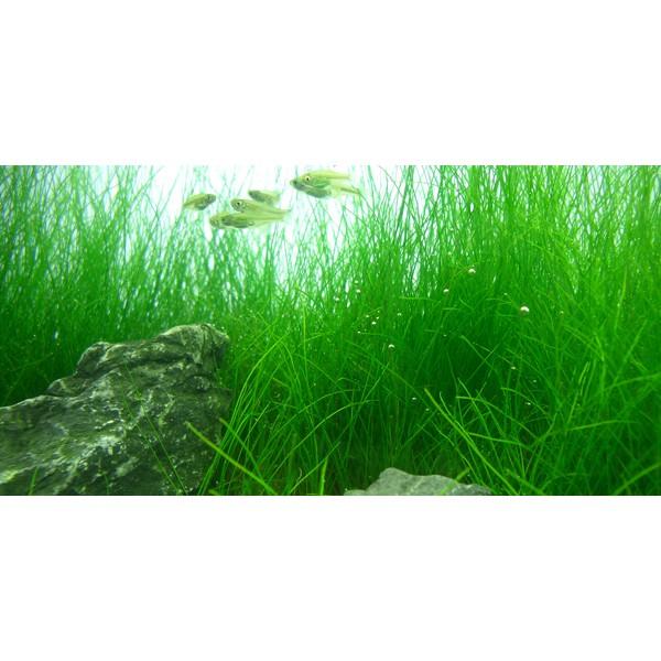 Bibit Benih Tanaman Air Mini Hair Grass Hairgrass Seed Aquascape Aquarium Shopee Indonesia