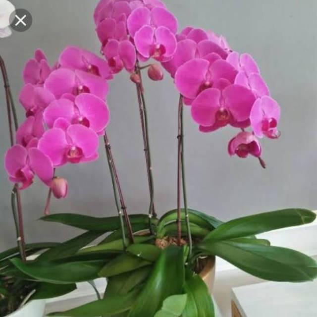 Anggrek Bulan Pink Shopee Indonesia