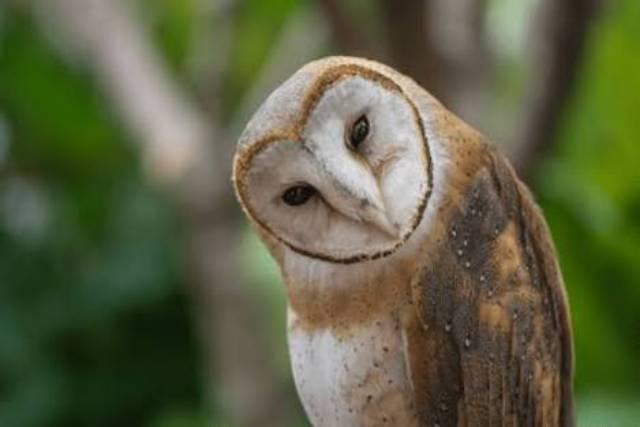 Dijual Burung Hantu Tyto Alba Jinak Shopee Indonesia