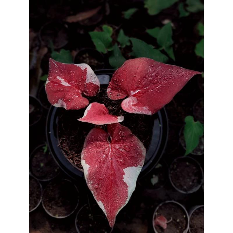 Dwi Warna/Tanaman hias keladi/Tanaman hias caladium/Caladium thaliand/Keladi import/Keladi merah