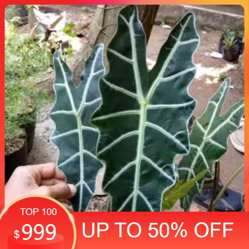 tanaman hias keladi amazon / keladi tengkorak / keladi amazon / keladi