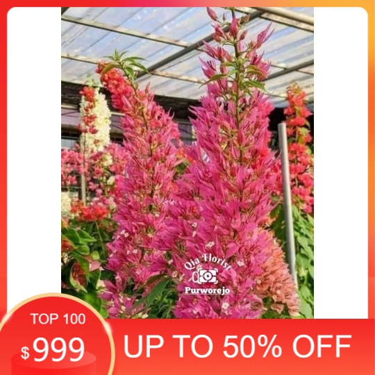 MURAH BANGET ekor musang pink - Bunga Kertas Bugenvil
